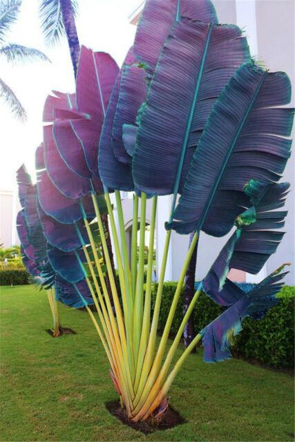 Purple Travelers Palm Seeds Plants Flores Bonsai Ravenala ...