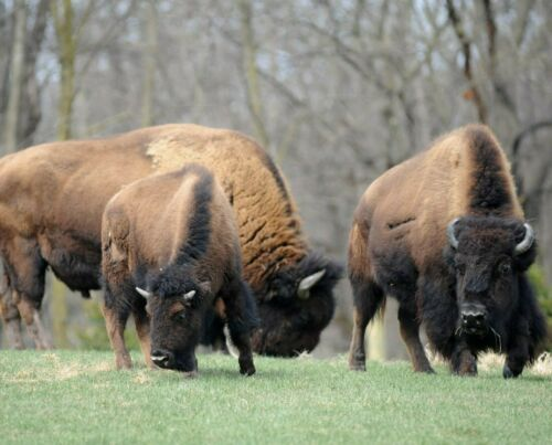 Bison, Buffalo or Tatanka 20180711 4 Photograph by Alan Look
