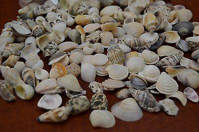 300+ PCS ASSORT SMALL VARIOUS SEA SHELL BEACH CRAFT 1/2 POUND #7171