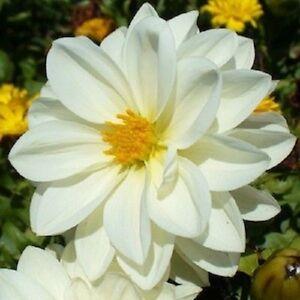 NEW-15-PURE-WHITE-DAHLIA-FLOWER-SEEDS-MIGNON