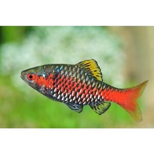 Odessa Barb Pethia padamya Imperial Tropicals - induced info