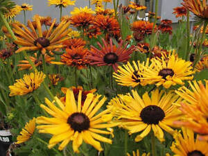20 Rudbeckia Moroccan Sun Flower Seeds Deer And Rabbit
