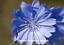 thumbnail 1 - Wildflower : CHICORY (1500 Seeds)  SUCCORY, WILD SUCCORY  Cichorium intybus