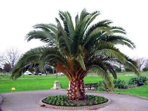 50-Seeds-Canary-Island-Date-Palm-Phoenix-canariensis