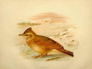 1907 Antico Uccello Stampa ~ Crested Lark