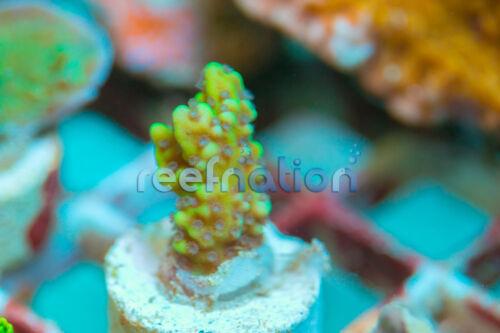 ReefNation Lunar Monti-Coral Frag SPS Monti LPS ReefNation Zo