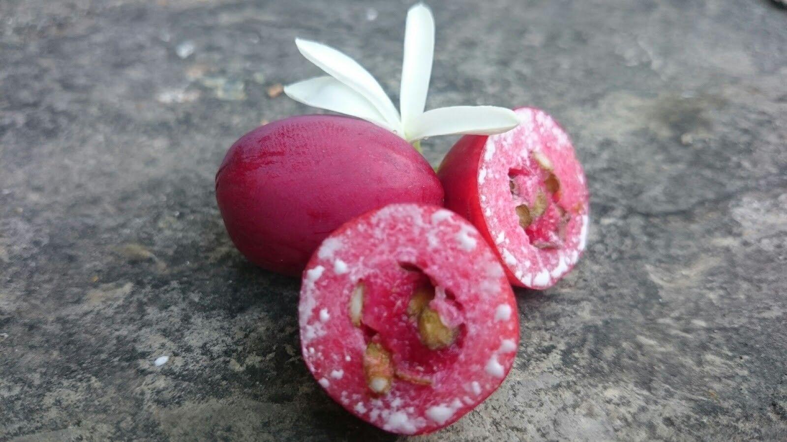 Plant de Prunier du Natal ou Cocheissa macroCochepa Arbre Fruitier Plante jardin pot