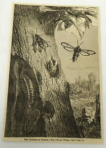 1882-magazine-engraving-LIFE-CYCLE-OF-POPLAR-WORM