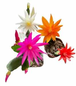 Easter Cactus with flowers