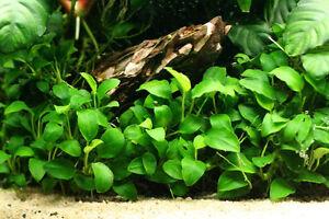 Anubias-nana-039-Petite-039-Mini-Nano-Live-Aquarium-Fish-Tank-Plant