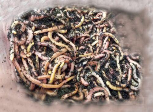 Wurmerde Regenwürmer Groß Big 250 g Bio-Kraftfutter /& Gratis Versand!
