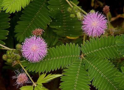 FäHig Echte Mimose Samen, Mimosa Pudica, RÜhr Mich Nicht An, Toll Für Kinder Schmerzen Haben