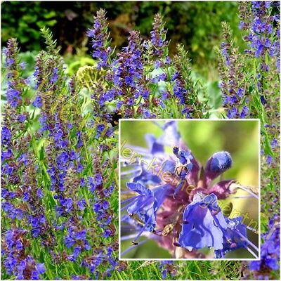 Hyssopus officinalis Gewürz 300 Samen Echter Ysop Tee mehrjährig Kräuter