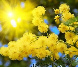 Silver Wattle Yellow Mimosa Acacia Dealbata 40 Seeds Tree