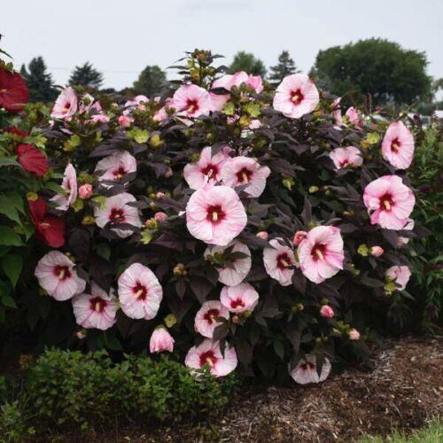 bush hibiscus Plant Perfect Storm hardy perennial Starter Ship Spring 2021