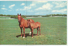 Mother and Son Kentucky Thoroughbreds, Blue Grass Country, Vintage Postcard