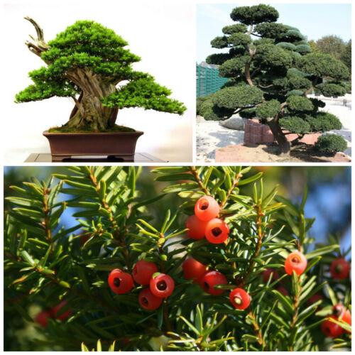 Tasso cuspidata semi bonsai 10 semi di Taxus cuspidata
