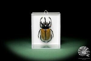 Eupatorus-gracilicornis-Scarabaeidae-Kafer-rhinoceros-beetle-Praparat-Dekoration
