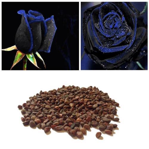 tasche Rose Blumensamen Mitternachtsblau seltene-Gartenpflanze Mode 10 Samen