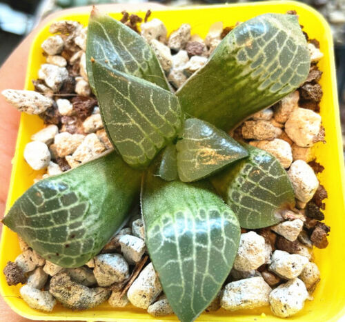 "Haworthia  /'SUISHOU Comptoniana Rare Succulent Plant in 3/""Pot"