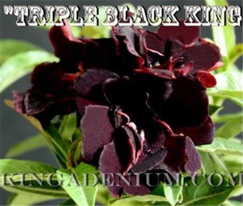 "ADENIUM OBESUM DESERT ROSES /"" TRIPLE BLACK KING /"" 20 SEEDS  NEW,PURE BLACK RARE"