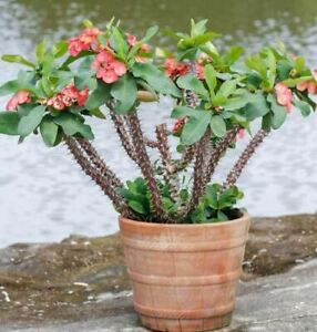 Crown-of-Thorns-Euphorbia-Milii-Plant-cutting-beautiful-red-flowers