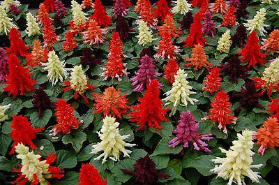 50 Salvia Seeds Reddy Mix FLOWER SEEDS