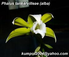 Orchid specie seeds: Phaius tankervilleae alba - Year 2014
