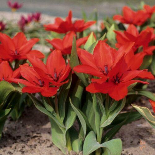 Tulip praestans Zwanenburg Pack de 25 ampoules Multi Floraison