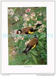 GOLDFINCH-BOOK-ILLUSTRATION-PRINT-LYDEKKER-c1916