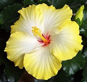 20 Rare Yellow White Hibiscus Seeds Giant Dinner Plate Flower Garden Exotic & Perennial Seeds