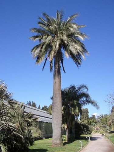Jubaea chilensis Chilean Wine Palm 20 Seeds