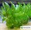 Anacharis-Elodea-Densa-Tropical-Live-Aquarium-Plants-Aquatic-Pond-Bundle-Stems thumbnail 3