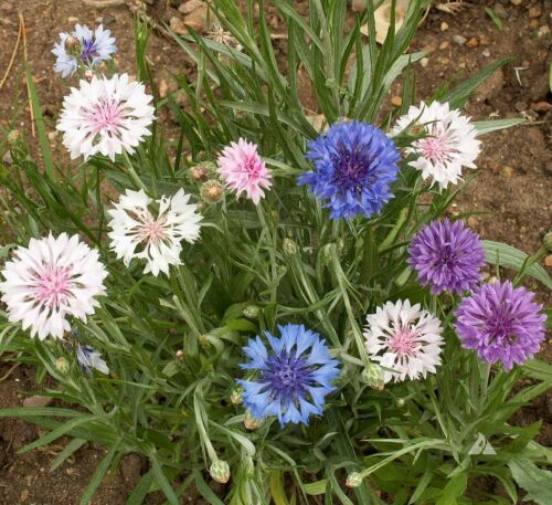 FREE Shipping Bachelor Button Tall Mixed Annual 500 Seed.. Flower