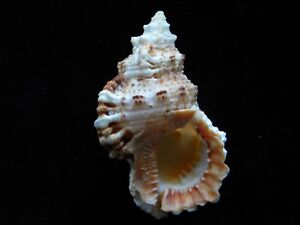 Sea-Shells-Tutufa-rubeta-73mm-ID-3868A