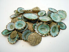 12 Green Limpet Shells Seashells Shellcraft Beautiful Beach Craft Nautical 1/2-1
