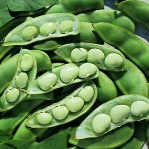 Lima Bean Seeds, Fordhook, Bush Lima Bean, Heirloom Non-Gmo, Heavy Producer 50ct