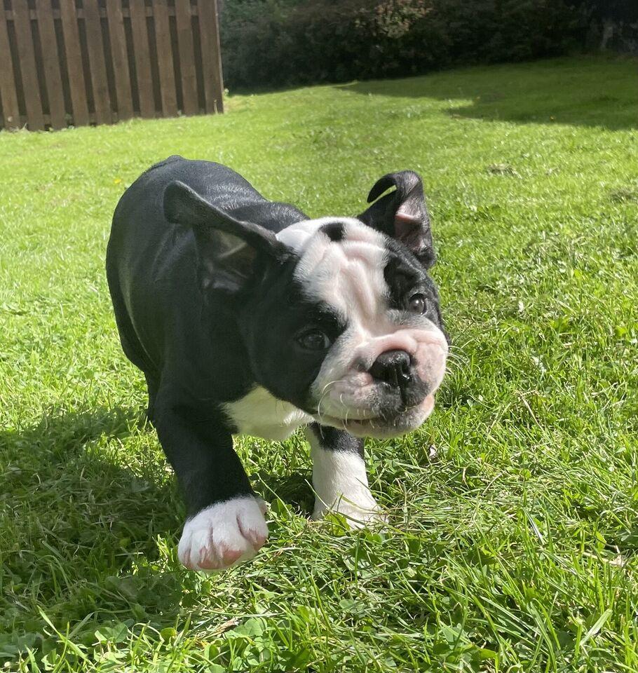 Engelsk bulldog, tæve, hvalp