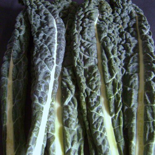 KALE 400 Seeds BORECOLE Dinosaur Kale,Tuscany Black Cabbage - CAVOLO NERO