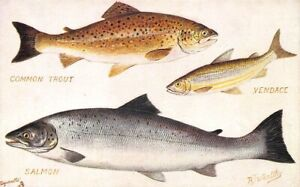 "Raphael Tuck ""British Freshwater Fish"" Salmon, Trout ..."