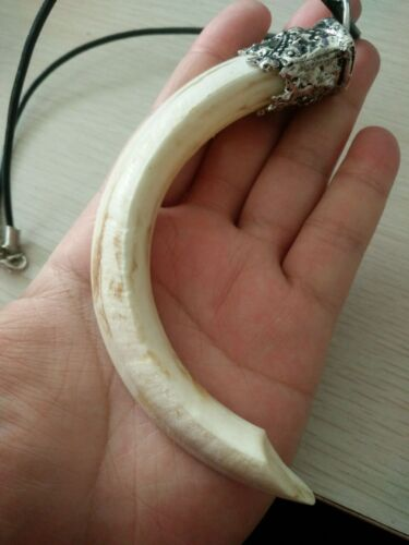 Big New Hog Boar Tooth Tibet Silver Cap Amulet Protection Pendant Necklace FREE