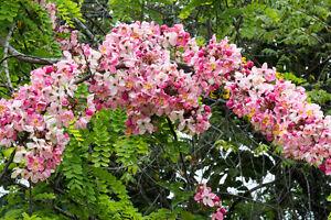 Exot-Pflanzen-Samen-exotische-Saatgut-Zierpflanze-ZWERG-APFELBLUTE