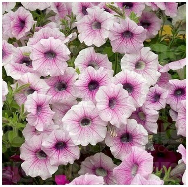 ~  Shock Wave PINK VEIN  *  Trailing Petunia *  20 Pelleted Seeds