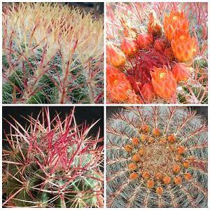 succulents seeds C 10 seeds of Ferocactus viridescens var littoralis,cacti