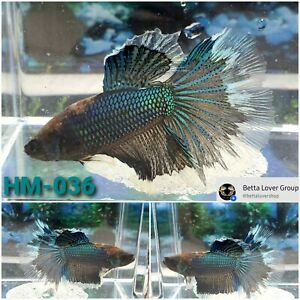 Betta Green & White halfmoon - Live Male - [HM-036] High-quality A+