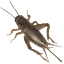 500-1000-2000-Live-Crickets-Acheta-Guarantee-live-delivery-over-25-F thumbnail 2
