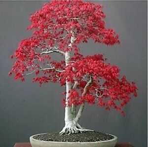 US-Seller-20Pcs-Red-Japanese-Maple-Tree-Bonsai-Seeds-B