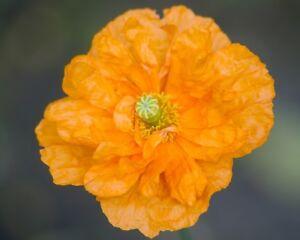 * Flore Enfreint * Espagnol Pavot Graines, Pluriannuelle, Orange, Tendres Papaver Rupifragum-afficher Le Titre D'origine Qualité Et Quantité AssuréE
