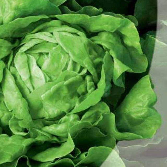 Butterhead Lettuce May Queen - Heirloom -  Vegetable Seeds - NON GMO