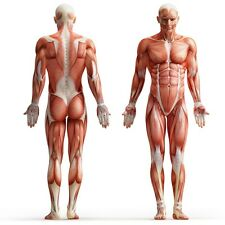 A3 Poster - Muscle Layout of The Human Body (Picture Medical Anatomy Doctor Art)